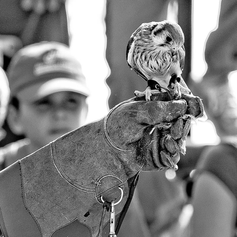 Día Mundial de las aves-2011. Cliente Falconers de les Comarques de Barcelona.