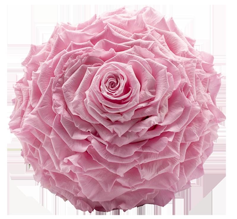 Rosmelia Medium preservada. Color Baby Pink